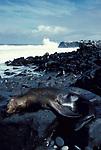Sealion sleeping laying on rocks by edge of sea, waves, surf, Galapagos Islands