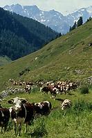 Europe/Italie/Val d'Aoste/Env d'Aoste/Planaval: Dans une estive    une  vache  dont le lait sert à préparer le fromage local la fontine