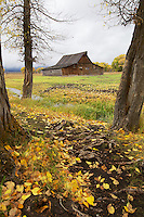 Autumn color, Moulton Barn, Grand Tetons, Jackson Hole, Wyoming