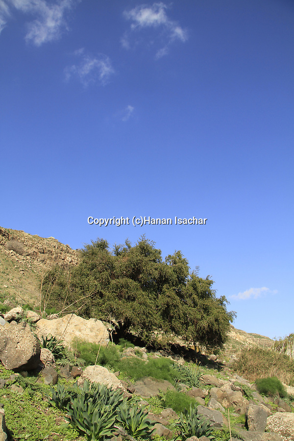 Golan Heights, Jujube tree in Ein Aya