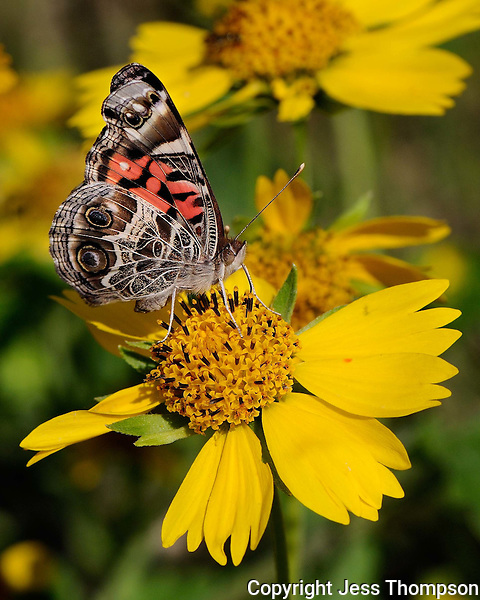 Painted Lady Butterfly, Enchanted Rock State Park, TX
