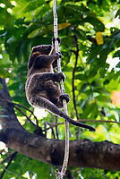 Sulawesi bear cuscus ( Ailurops ursinus) - named for its thick, dark and bear-like fur, is not a true bear but an arboreal marsupial. It uses its elongated claws and long, prehensile tail to navigate the upper canopy by slowly swinging from branch to branch. Like other marsupials, the female Sulawesi bear cuscus gives birth to relatively underdeveloped offspring and carries the infant in a pouch on her belly until it is approximately eight months old and sufficiently developed for survival. The cuscus grows to be approximately 15–22 lbs (7-10 kg) and 24 inches (61 cm) in length, with a tail that is almost as long as the rest of its body.