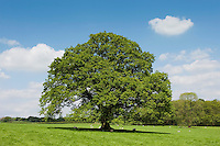 Oak tree in parkland, Chipping, Lancashire in summer.