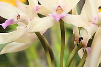 - A Trigona fulviventris bee on a Cattleya orchid.///Trigona fulviventris sur une orchidée Cattleya.