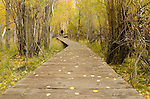 Man hiking on boardwalk trail through aspen forest, fall, Inyo National Forest, California