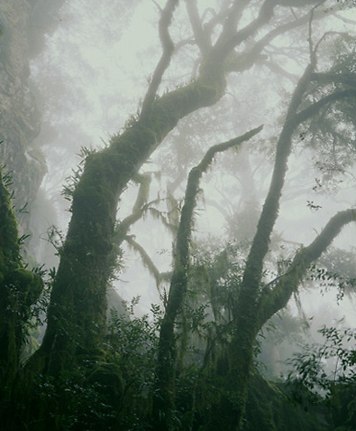 Beech Trees in Fog<br />