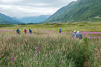 Summer wildflowers at Turnagain Pass in Chugash National Forest on Kenai Peninsula, Alaska; Pacific Horticulture Society tour