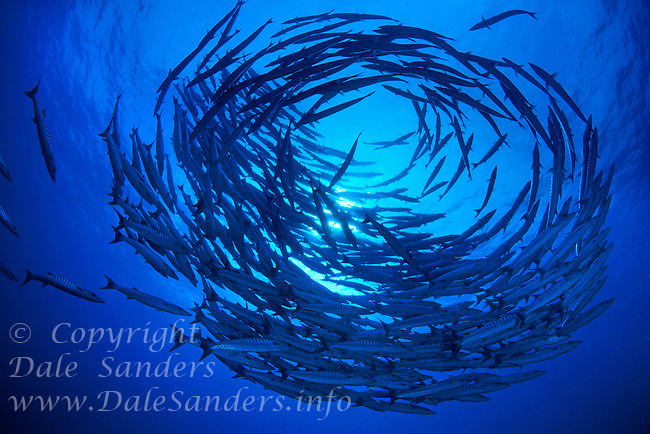 School of Chevron Barracuda (Sphyraena putnamiae) circle underwater in the Celebes Sea at Sipidan Island off Borneo in Malaysia.