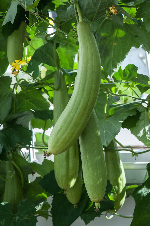 Short or Smooth Luffa, glasshouse, late September. A tender vine belonging to the Cucumis or cucumber family, this luffa is a smooth skin sponge gourd and has green and slightly ribbed fruit. It is grown for food or sponges. The young fruit are cooked or used in salads.
