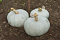 "'Crown Prince' squashes drying or ""curing"" outdoors before being brought under cover for winter storage."