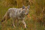 A coyote hunts rodents in Yellowstone National Park, Wyoming, USA, October 3,  2007.  Photo By Gus Curtis.