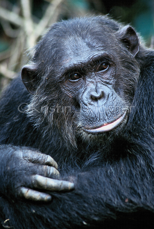Frodo.  Fifi's adult son. Male Eastern Chimpanzee (Pan troglodytes schweinfurthii) Gombe National Park, Tanzania 1997. Jane Goodall Institute/GSRC