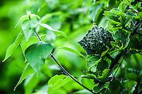 Papache, Fruta silvestre del monte. <br /> <br /> ****<br /> Reserva Monte Mojino (ReMM) de la Natural Culture International (NCI)<br /> <br /> Credito:LuisGutierrez