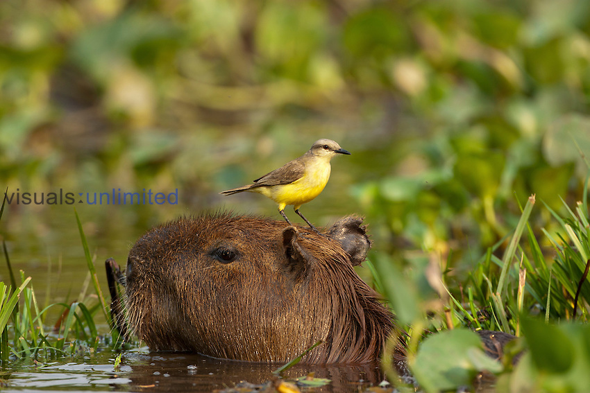 Cattle Tyrant (Machetornis rixosus) riding on the head of a Capybara, the world's largest rodent, moving through swampland, Pantanal, Brazil. Tyrant flycatchers hunt for insects disturbed by the rodent.