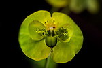 Sun Spurge, Euphorbia helioscopia, Bonsai Bank, Denge Woods, Kent UK
