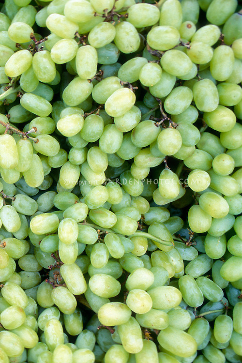Thompson Grapes (Vitis lambrusca) green seedless grapes