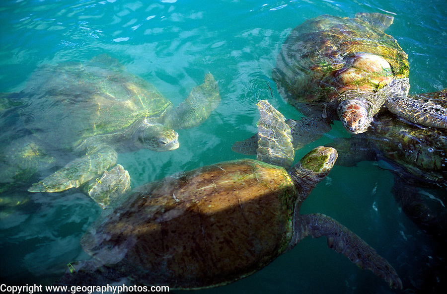 Turtle farm, Grand Cayman, Cayman Islands, British West Indies,
