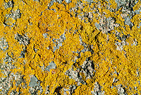 Orange Lichen, Bornholm Island Coast, Denmark, Baltic Sea, Europe