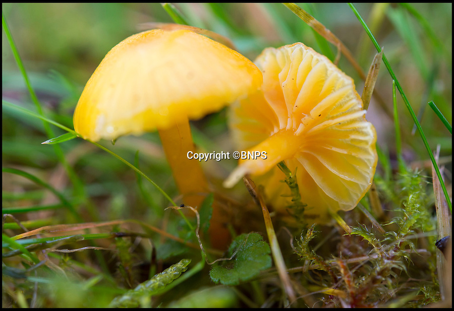 BNPS.co.uk (01202 558833)<br /> Pic: PhilYeomans/BNPS<br /> <br /> Funghi fest, A National Trust estate untouched by modern fertilisers and chemicals has revealed an unrivalled collection of over 1000 different species of fungi, some identified for the first time, by a eccentric couple of fungi fanatics.<br /> <br /> The Tyntesfield estate bought by the Trust for £25 million in 2002 has been revealed as one of the top places in Britain for mushrooms, with more than 1,000 varieties identified within its small grounds.<br /> <br /> Fungi fanatics John and Doreen Bailey have spent the last 10 years tirelessly scouring 150-acre Tyntesfield cataloguing every single mushroom they find including one never-seen-before type.<br /> <br /> They say that the sheer diversity of fungi they have found is thanks to the absence of modern farming techniques and the unique combination of woodland and grassland at the National-Trust-owned estate near Bristol, Somerset. <br /> <br /> Ironically, Tyntesfield is the ancestral home of businessman William Gibbs who made his fortune in the 1800s importing guano - bird excrement -  from South America for use as fertiliser.