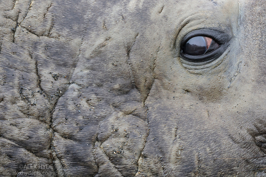 Eye of Southern Elephant Seal bull (Mirounga leonina). This dominant bull or 'Beachmaster' fights off rival males to keep his harem of females. King Haakon Bay, South Georgia. November.