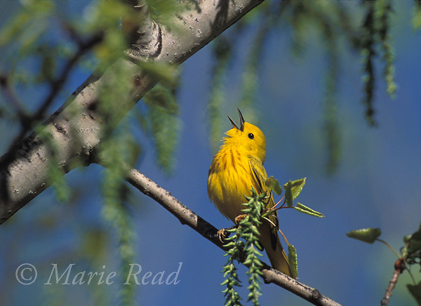 Yellow Warbler (Dendroica petechia) male singing in spring, New York, USA<br /> Slide # B161-14