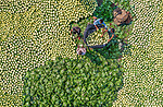 Pictured:  The cauliflowers<br /> <br /> A farmer walks through what looks like a sea of cauliflower as he tends to his crop.  Thousands of the vegetables completely fill the photograph's frame as the worker navigated his way through them while carrying a load above his head.<br /> <br /> The cauliflowers were loaded into large bags before they were transported to be sold and workers can also be seen tending to other vegetables including radish and cabbage.  Bright orange rice grains were laid out at this farm in Shibganj Upazila, Bangladesh, to dry under the hot sun.  SEE OUR COPY FOR DETAILS.<br /> <br /> Please byline: Abdul Momin/Solent News<br /> <br /> © Abdul Momin/Solent News & Photo Agency<br /> UK +44 (0) 2380 458800