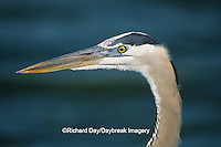 00684-01611 Great Blue Heron (Ardea herodias) head shot    FL