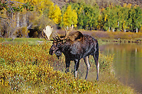 Bull moose (Alces alces) shaking off water from just having swam across Snake River, Grand Teton National Park, Wyoming.  Fall.
