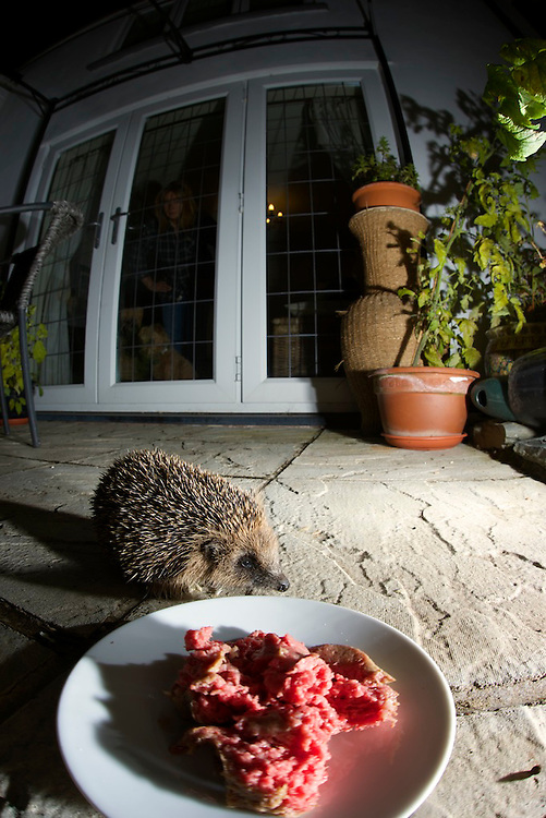 A young Hedgehog about to tuck into a meal of dog food on a patio. Watched by the house owner and dog (model released). Near Corwen, North Wales.