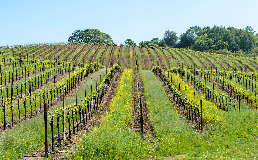 A Sonoma vineyard in early spring