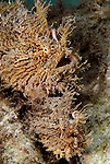 Striated Frogfish Pair Mating
