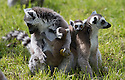 16/05/16<br /> <br /> &quot;Ok children, look lively we've got something fun to do&quot;.<br /> <br /> Three baby ring-tail lemurs began climbing lessons for the first time today. The four-week-old babies, born days apart from one another, were reluctant to leave their mothers&rsquo; backs to start with but after encouragement from their doting parents they were soon scaling rocks and trees in their enclosure. One of the youngsters even swung from a branch one-handed, at Peak Wildlife Park in the Staffordshire Peak District. The lesson was brief and the adorable babies soon returned to their mums for snacks and cuddles in the sunshine.<br /> All Rights Reserved F Stop Press Ltd +44 (0)1335 418365