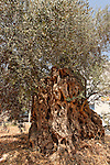 Israel, the Lower Galilee. Olive Tree in Arabe'<br />