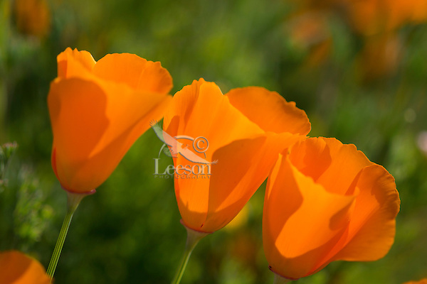 California Poppies (Eschscholzia californica). California.  Spring.