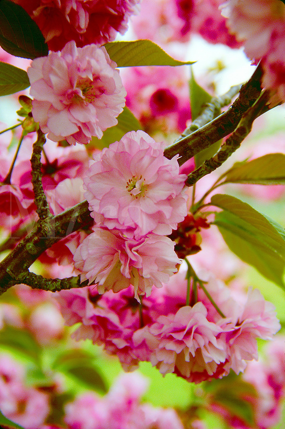 Detail close up of Kwansan Cherry tree blossoms in spring.