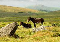Dartmoor ponies. Dartmoor.