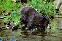 Black Bear steps into mountain stream.  Western U.S.