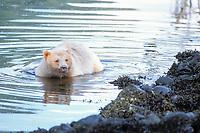 spirit bear, kermode, black bear, Ursus americanus, wading in a river, rainforest area of the central British Columbia coast, Canada