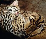 An ocelot kitten curls up with its mother, Arizona, USA