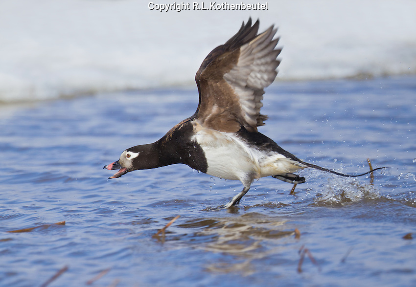 Long-tailed duck drake in summer plumage in an aggressive pose as it drives off a rival drake.<br />
