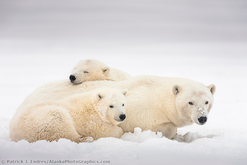 Polar bear sow and cubs relax in the snow on an island in the Beaufort Sea, Arctic, Alaska.