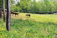 Stock photo of barbed wire fence and horses grazing inside in the field of grass and wildflowers at cades cove in the great smoky mountains America.