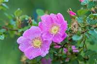 Wild Rose or Nootka Rose (Rosa nutkana).  Common wildflower of Pacific Northwest.  May-June.<br />