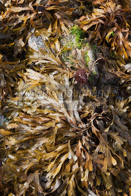 France, Côte d'Armor (22), Côte d'Emeraude, Saint-Jacut-de-la-Mer, Ile des Ebihens (Hebihens):   Rochers de l'île des Ebihens - Algues  // France, Cote d'Armor, Cote d'Emeraude (Emerald Cost), Saint Jacut de la Mer,Iles de Ebihens (Hebihens): Rocks of the island of Ebihens  algae