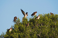 Swainson's Hawk (Buteo swainsoni), adults in tree, Sinton, Corpus Christi, Coastal Bend, Texas, USA