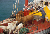 AJ2521, livestock, Caribbean, Grenada Grenadines, Caribbean Islands, Boat transporting livestock on the Caribbean to the island of Carriacou in the Grenada Grenadines (a British Commonwealth member).