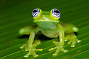 Ghost Glass Frog {Sachatamia ilex} Central Caribbean foothills, Costa Rica. May.