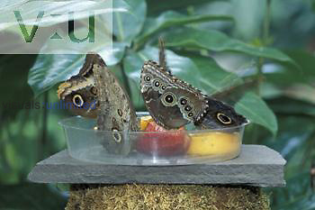 Owl and Blue Morpho butterflies in feeding dish.