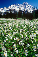 Mt. Rainier. Indian Henry's Hunting Ground. Avalanche lilies. Mt. Rainier National Park, WA