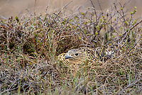 Adult female Willow Ptarmigan (Lagopus lagopus) incubating its nest. Yukon Delta National Wildlife Refuge, Alaska. June.